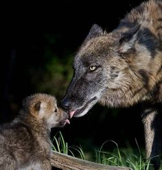 Animal babies, photos of animal babies, Gray Wolf - picture, Gray Wolf - the most beautiful and unique Wildlife Nature Photography Wolf Photos, Wolf Pictures, Animal Pictures, Wolf Spirit, Spirit Animal, Beautiful Wolves, Animals Beautiful, Wolf Girl And Black Prince, Baby Animals