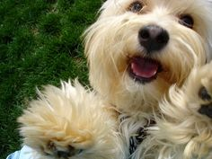 havanese | i need to do this pic with maizy!