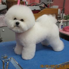 Bichon Show Style. Groomer Valerie Weston at Simply the Best Dog Gone Salon (Canada)