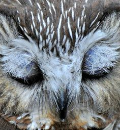 Sleeping saw-whet owl.. The fine feathers covering the eyes look like snowflakes_Windsor, Ontario, Canada   by Mel Diotte