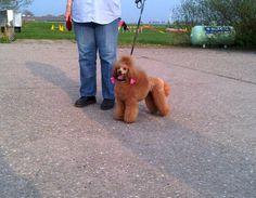 De eigen honden van Trimsalon Agouti uit Purmerend en degene die geknipt zijn in de trimsalon.