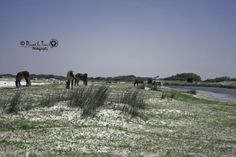Horses at Cedar Island, NC Atlantic Beach, North Carolina, Elephant, Horses, Island, Vacation, Usa, Places, Animals