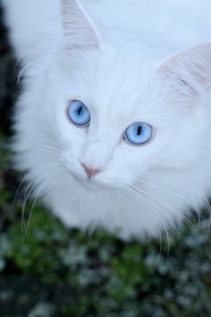 (byJessica Tekert) With those blue eyes, I hope this kitty has his hearing...