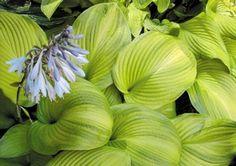 Tobacco Road Hosta - Shade Perennial Large Hosta Plant