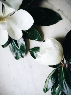 Magnolia Blossom is the Mississippi State flower My Flower, White Flowers, Beautiful Flowers, Flowers Nature, Beautiful Things, Poster S, No Rain, Arte Floral, Gras