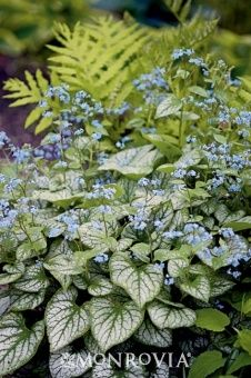 "Brunnera macrophylla 'Jack Frost' - shade, flowers in spring, to 18"" tall, spreading"