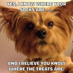 The Popular Pet and Lap Dog: Yorkshire Terrier - Champion Dogs Funny Dog Memes, Memes Humor, Funny Dogs, Funny Animals, Animal Funnies, Cat Memes, Baby Animals, Yorkies, Yorkie Puppy