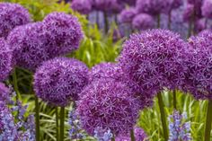 Add a splash of purple to your landscape with some bountiful blooms. Whether you're looking for annuals or perennials, here are 10 pretty purple flowers that are sure to make your garden pop with color. Allium Flowers, Bulb Flowers, Purple Flowers, Flowers Garden, Best Flowers For Bees, Amazing Flowers, Flower Bed Decor, Plants That Love Shade, Hyacinth Plant