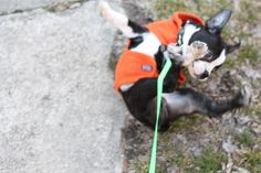 Barney the Boston terrier is a gymnast!