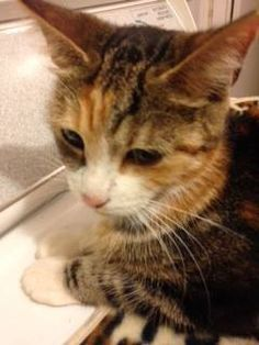 #Montreal cat rescue ~ Nov 19, 2016 ♥ AVAILABLE FOR ADOPTION is GIDOUNNE (female) ~ Gidounne is mom to the god/goddesses litter (all adopted). She is now ready to find a home for herself. If you would like to adopt Gidounne please email montrealcause4paws@gmail.com  Visit www.facebook.com/cause4paws for details and help spread the urgent news!