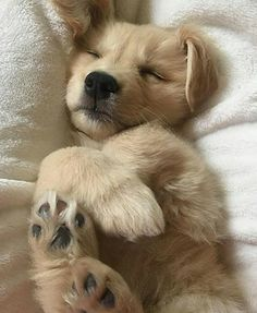 Sweet Golden Retriever puppy