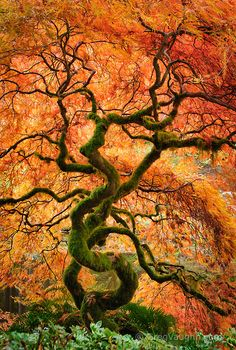 Laceleaf maple tree with fall color in the Japanese Garden at Bloedel Reserve, Bainbridge Island, Washington.  COPYRIGHT:© Greg Vaughn