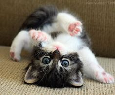 Cute Cats And Kittens, Baby Cats, Kittens Cutest, Kittens Playing, Cutest Pets, Cutest Kitten Breeds, Small Kittens, Beautiful Cats, Animals Beautiful