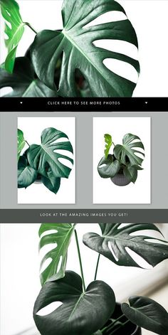 4 Green monstera stock photos by Petra Veikkola on @creativemarket #monstra #green #leaves #stock #styled #image #bundle #picture #frame #scene #creator #vectors #design #kit #preset #overlay #graphic #design #photoshop #lightroom #actions #brush #premade #social #media #print #download #website #digital #template #theme #blog #facebook #instagram #mockup