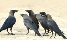Cleverer than a child of four, the birds who can read your mind