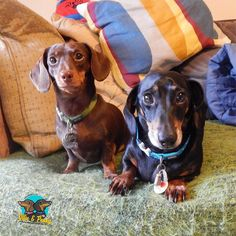 Look at us just sitting there all innocent.  (...you didnt see us 5 min later scoffing two Dogioreos by @lupin_loves #yum)  #ollieandpenny #dachshundlife #dogs