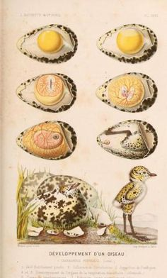 Development of Charadrius pluvialis [now dominicus] from laying to hatching