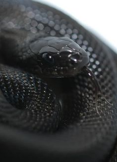 looks like a black mamba Snake