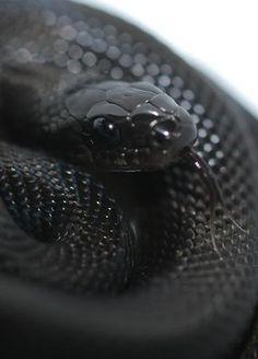 Elaphe obsoleta, a.k.a. the black rat snake, a non-venomous colubrid species found in North America.