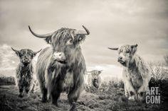 The Highlands I Wall Art, Canvas Prints, Framed Prints, Wall Peels Highland Cow Art, Highland Cattle, Poster Prints, Framed Prints, Canvas Prints, Big Canvas, Buy Prints, Wildlife Art, Livestock