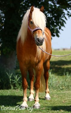 Beautiful Haflinger horse named Shania - by MissToseland on DeviantArt