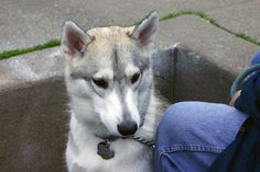 Cody is looking very keen. #dogs #husky #huskies #malamutes (Photo by Wilfred Wong, February 21, 2004, San Francisco, CA)