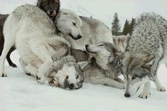 gotta love wolves