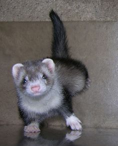 I love ferrets... All rodents scare me just a little, but ferrets are so cute!
