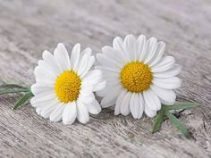 daisy Fauna and Flora are two terms frequently heard by people who spend time in nature. Sunflowers And Daisies, Wild Flowers, Amazing Flowers, Pretty Flowers, My Flower, Flower Power, Daisy Love, Daisy Daisy, Flower Pictures