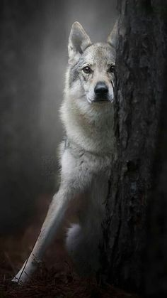 Enchanting Nature and Art Beautiful Wolves, Beautiful Dogs, Animals Beautiful, Wolf Pictures, Animal Pictures, Animals And Pets, Cute Animals, Wolf Hybrid, Wolf World
