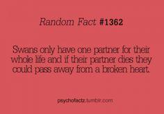 swans, scary but romantic birds #facts #romantic