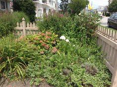 Add Russian Sage between hybrid loosestrife, blue phlox at fence near rose