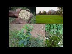Medicinal Rice B4 Formulations for Sleeplessness: Pankaj Oudhia's Medici...