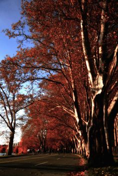 Fall colors: Sycamore trees lining Memorial Drive in #CambridgeMA. DiscoverWestCambridge.com