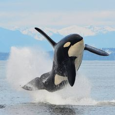 Happiness is freedom. Keep them in the sea! Beautiful image of a happy Orca by 💙 Orcas, Animals Beautiful, Cute Animals, Fauna Marina, Wale, Ocean Creatures, Tier Fotos, Mundo Animal, Killer Whales