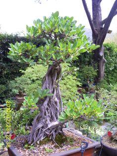 Bonsai Bonsai, South Africa, Gardening, Lawn And Garden, Horticulture, String Garden