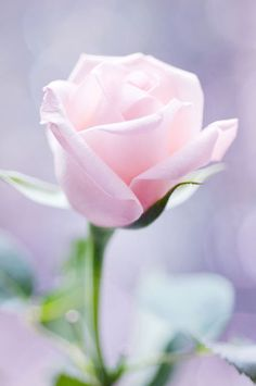 "A light pink single rose. There are over 100 different species of roses today; Many native to Asia. Roses are known as ""Queen of the Flowers"", due to their popularity. Many have been used in herbal and folk medicines."