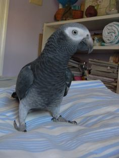 African Grey ...Charlie