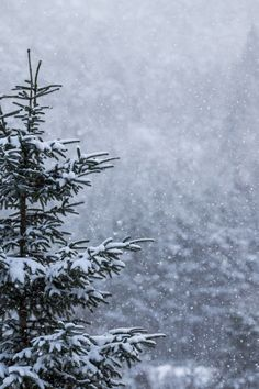 Winter Spruce ~ Let it snow!