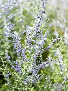Russian sage, Perovskia their color for weeks. Paired with the plant's fragrant, silvery foliage, Russian sage is a must-have for your garden. Russian sage grows 3 to 5 feet tall, dwarf forms are more compact reaching 3 feet in height. Grows in Zones 4-9.