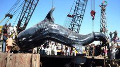 HUUUGE whale shark caught off the coast of Pakistan!