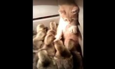 When an adorable kitten meets a bunch of tiny ducklings, fuzz flies.The main thing I learned from this video is: Do not put your tiny kitten in a box of fluffy ducklings.It will seem cute at first, wi