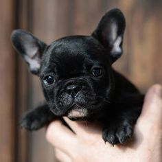 Our breeding - French Bulldog Breed - Bellow are photos of French Bulldogs bred by Vanilla Flower kennel. We are very picky for a new homes for our puppies… Brindle French Bulldog, English Bulldog Puppies, Cute French Bulldog, French Bulldogs, Cute Puppies, Cute Dogs, Dogs And Puppies, Doggies, Baby Animals