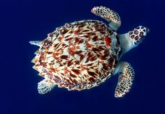 The hawksbill turtle is small to medium-sized compared to other sea turtle species Ocean Turtle, Turtle Love, Sea Turtles, Ninja Turtles, Beautiful Creatures, Animals Beautiful, Cute Animals, Sea Turtle Species, Kawaii Turtle