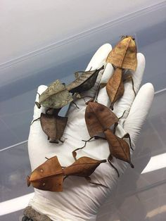 Deroplatys Truncata, a type of praying mantis which looks like leaves