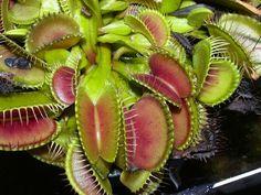 http://www.oddballdaily.com/wp-content/uploads/2011/11/Dionaea-muscipula.jpg
