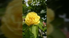 DEŇ KVETOV Rose, Flowers, Plants, Pink, Plant, Roses, Royal Icing Flowers, Flower, Florals