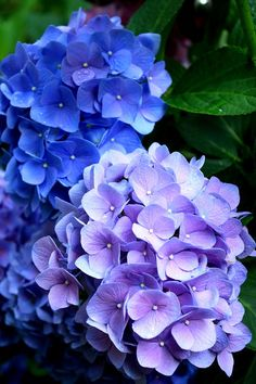 Hydrangea Blooms Photograph by Charles Shedd