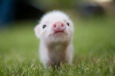 Funny-Pig-19.jpg (440×291)