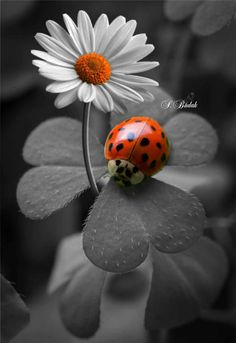 Ideas For Black And White Nature Photography Color Splash Lady Bug Beautiful Bugs, Beautiful Nature Wallpaper, Beautiful Flowers, Beautiful Places, Nature Photography Flowers, Animal Photography, Landscape Photography, Photography Ideas, Color Photography